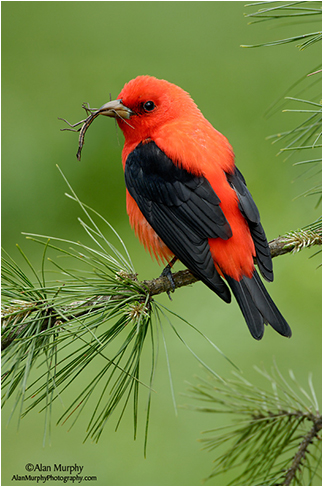 Scarlet Tanager by Alan Murphy ©