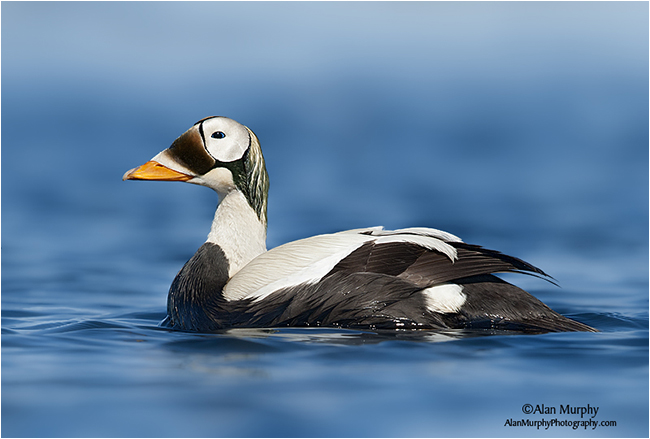 Spectacled Eider by Alan Murphy ©