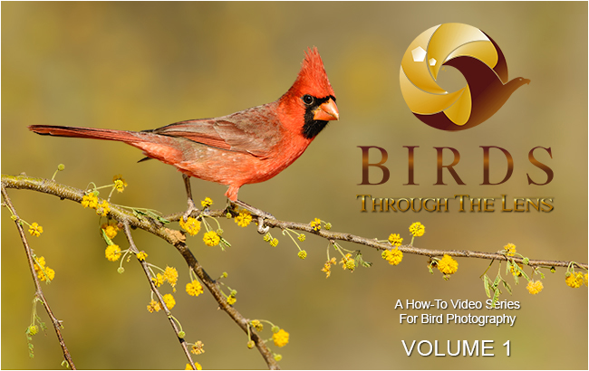 Red Cardintal - Vol 1 how to video series on Bird Photography by Alan Murphy ©