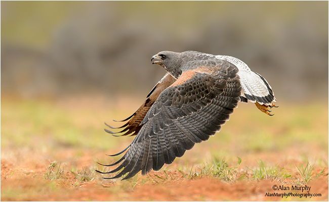 White-tailed Hawk by Alan Murphy ©
