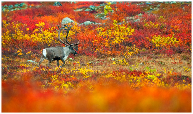 Barrens land caribou on the tundra by Robert Berdan ©