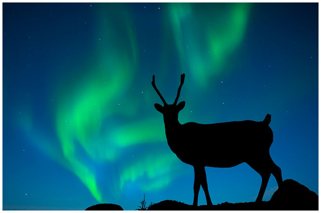 Caribou silhoutte and Aurora composite by Robert Berdan ©