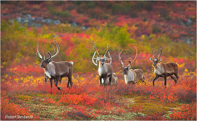 Small herd of Caribou by Robert Berdan ©