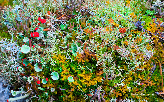 Lichen and moss on the tundra by Robert Berdan ©