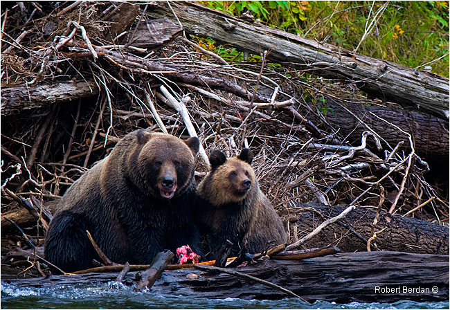 Grizzly sow shares salmon with cub along the Atnarko River by Robert Berdan
