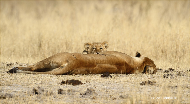 Lions by Bruce Turnbull ©