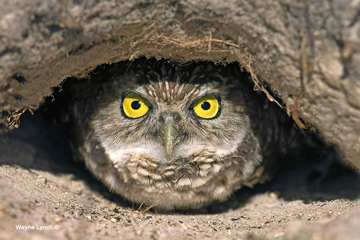 burrowing owls in alberta by dr wayne lynch the canadian nature