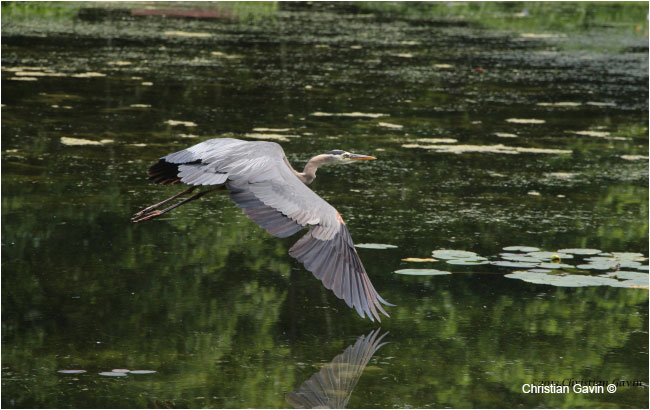 Great Blue Heron by Christian Gavin ©