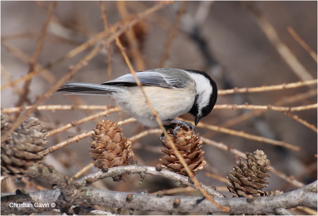 Chickadee by Christian Gavin ©