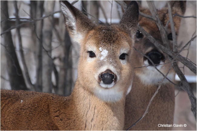 White-tailed deer by Christian Gavin ©