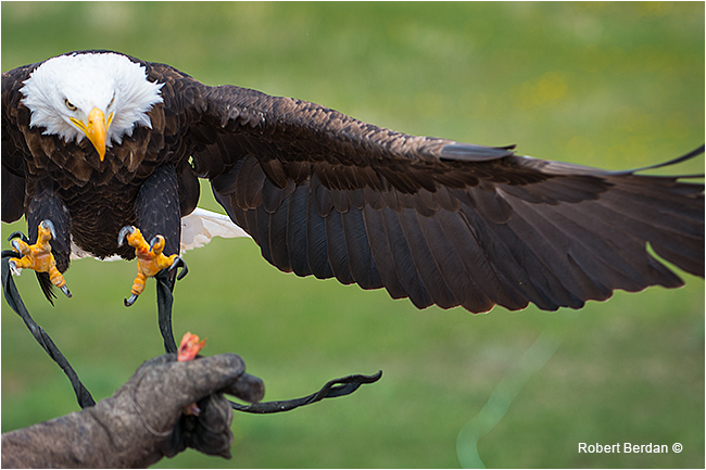 Bald eagle lands on gauntlet by Robert Berdan