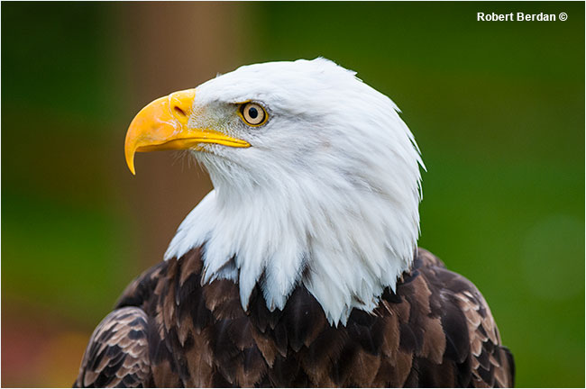 Bald eagle portrait.