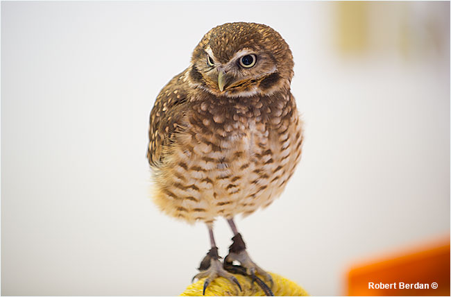 Burrowing owl Coaldale Birds of Prey Center by Robert Berdan ©