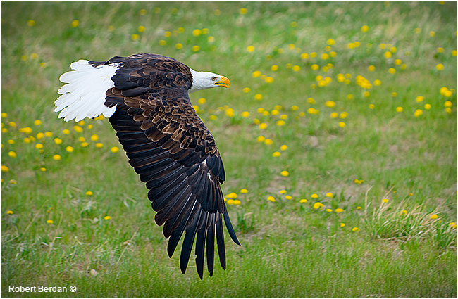 Bald eagle in flight at rehabilation center - Birds of Prey Centere in Coaldale by Robert Berdan ©