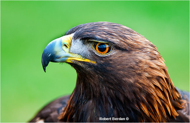 Spirit a rehabilated Golden eagle at the Birds of Prey Center by Robert Berdan ©