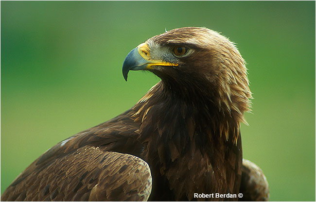 Golden eagle portrait by Robert Berdan
