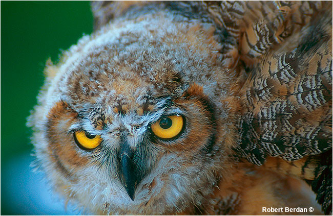 Young Great Horned owl at Birds of Prey Center by Robert Berdan ©