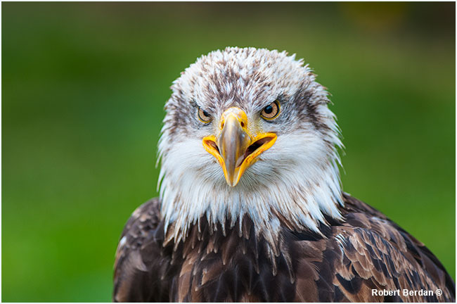 Immature bald eagle portrait by Robert Berdan