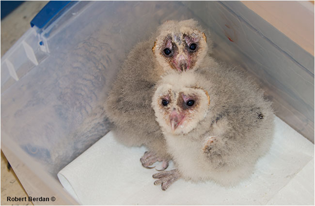 Young barn owls at Birds of Prey Center Coaldale, AB by Robert Berdan