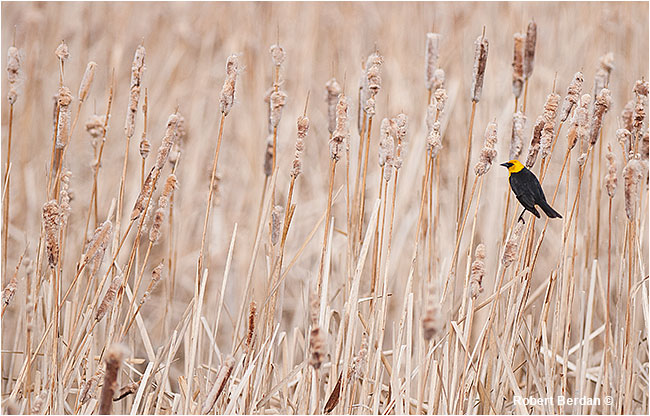 Yellow-headed blackbird on bullrushes by Robert Berdan