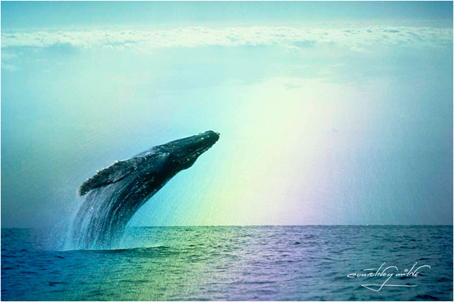Blue whale breaching by Courtney Milne ©