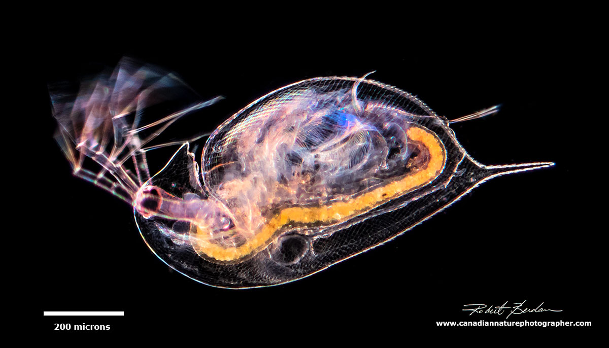 ide view of Daphnia Darkfield microscopy by Robert Berdan ©