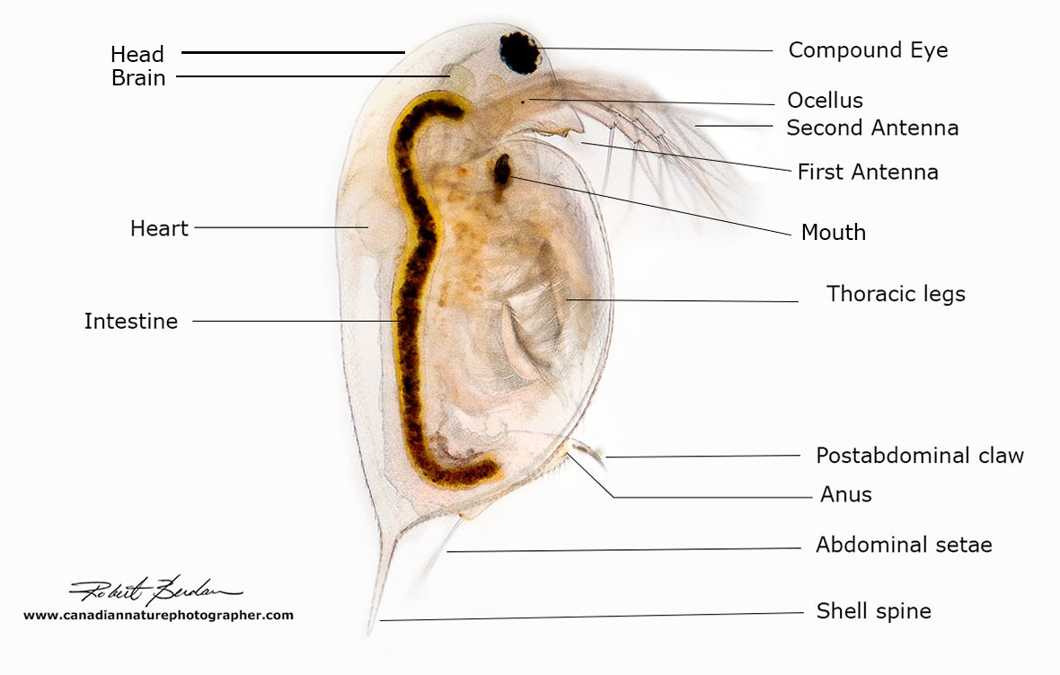 Photographing Water Fleas Daphnia The Canadian Nature Photographer Heart Diagram Click For Details Show Me A Of Human Photo Also Called Waterflea By Robert Berdan