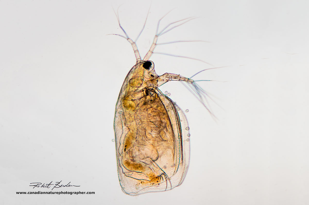 Side view of Daphnia by bright field microscopy by Robert Berdan ©