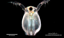 Daphnia Water-flea by Robert Berdan ©