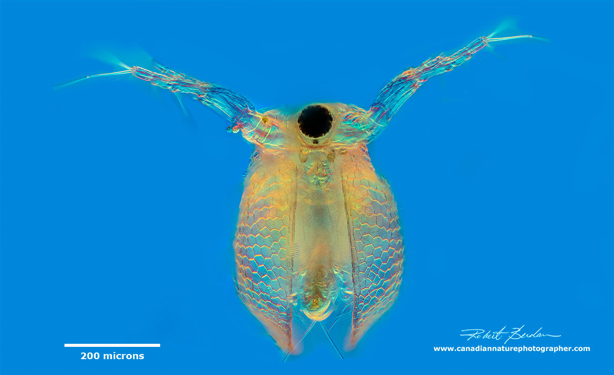 Water flea Ceriodaphnia sp frontal view by DIC (Differential Interference Contrast) microscopy by Robert Berdan ©