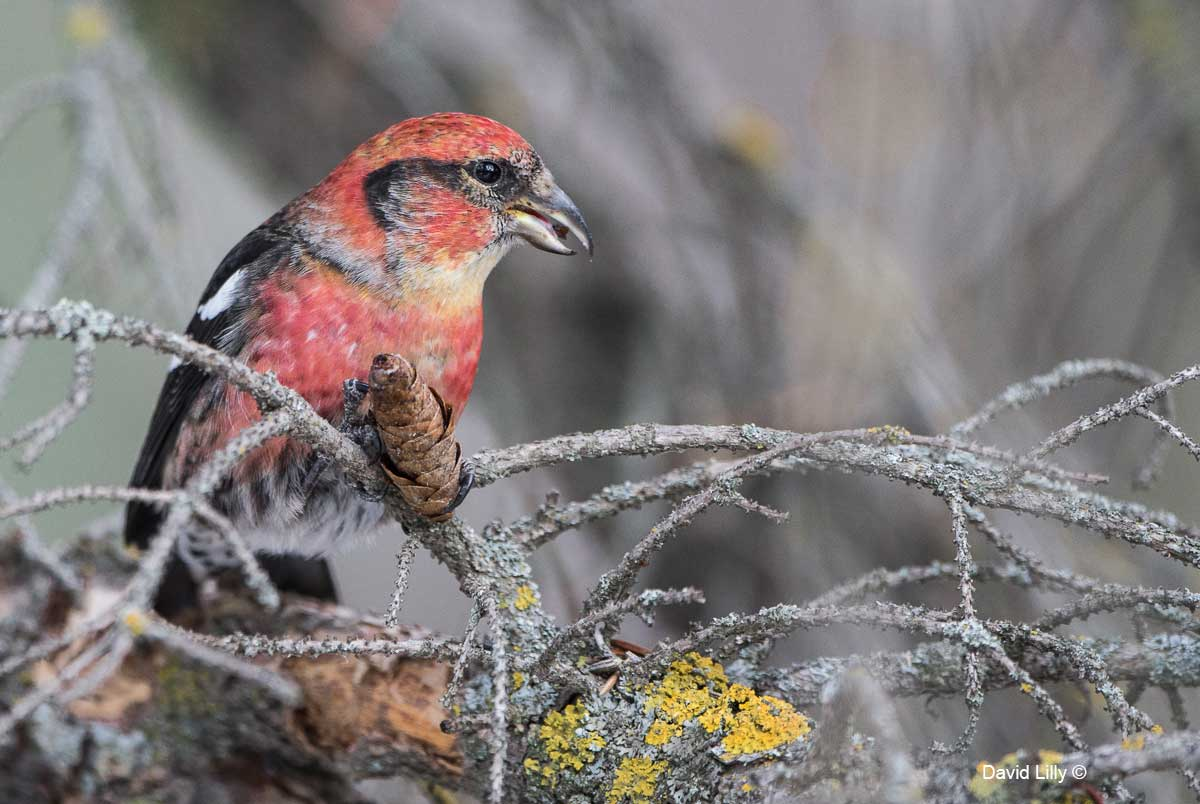 Natural Environment - White-winged Crossbill (Male) by David Lilly ©