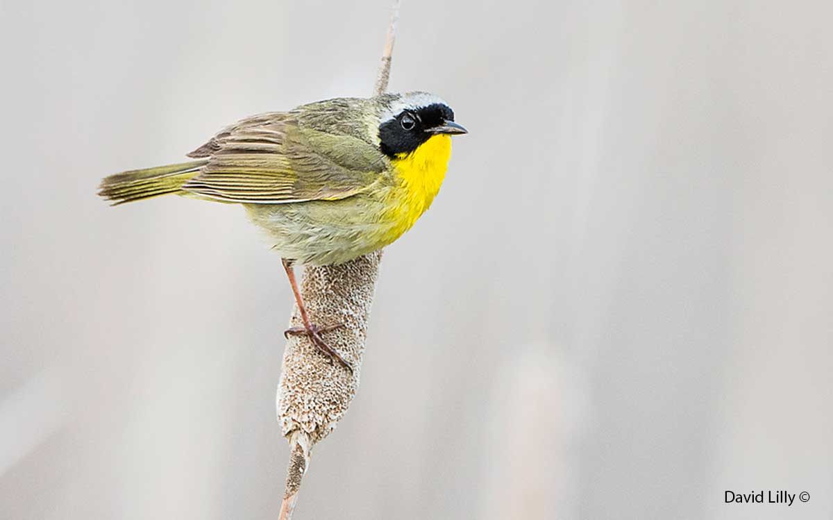Common Yellowthroat by David Lilly ©