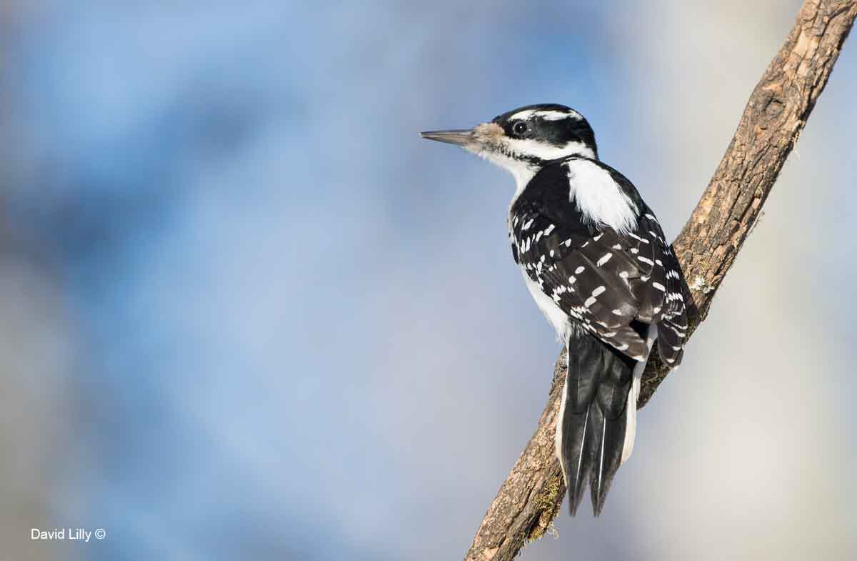 Hairy Woodpecker by David Lilly ©