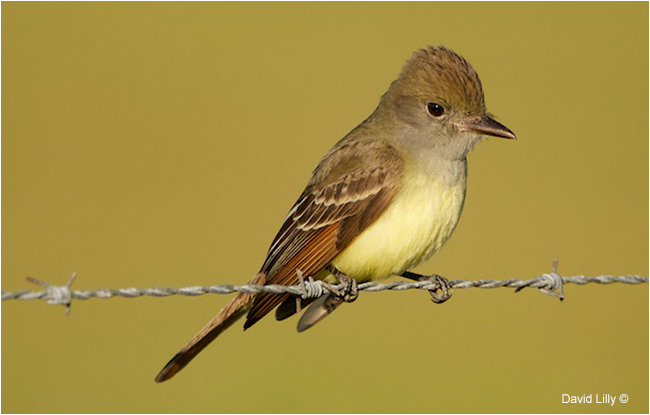 Great Crested Flycatcher by David Lilly ©
