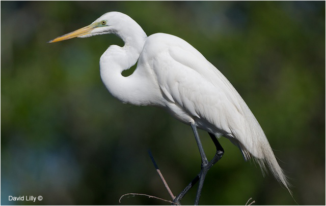 Great Egret by David Lilly ©