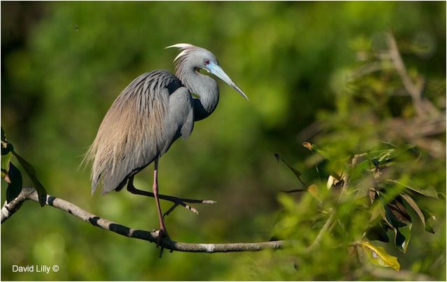 Little Blue Heron by David Lilly ©