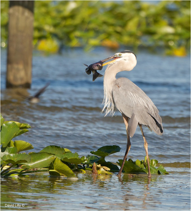 Great Blue Heron with Fish by David Lilly ©