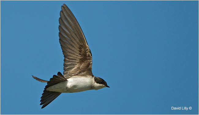 Tree Swallow by David Lilly ©