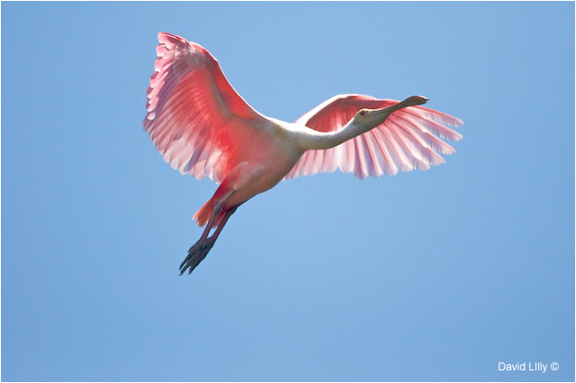 Roseate Spoonbill by David Lilly ©