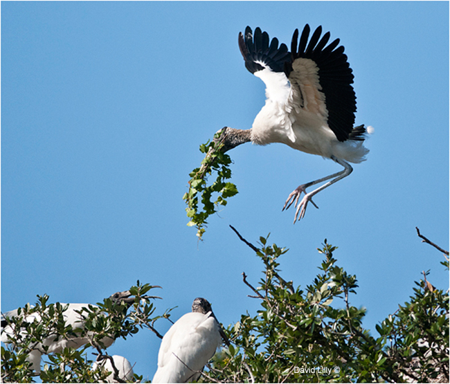 Wood stork bringing branches to the nest by David Lilly ©