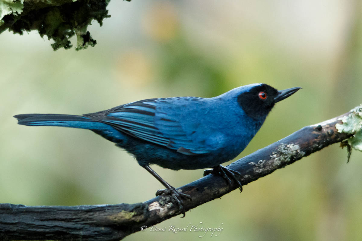 The masked flowerpiercer by Marie-France and  Denis Rivard ©