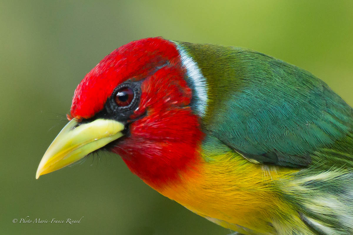 Red-headed barbet can be seen in mixed flocks or at feeders by Marie-France and Denis Rivard ©