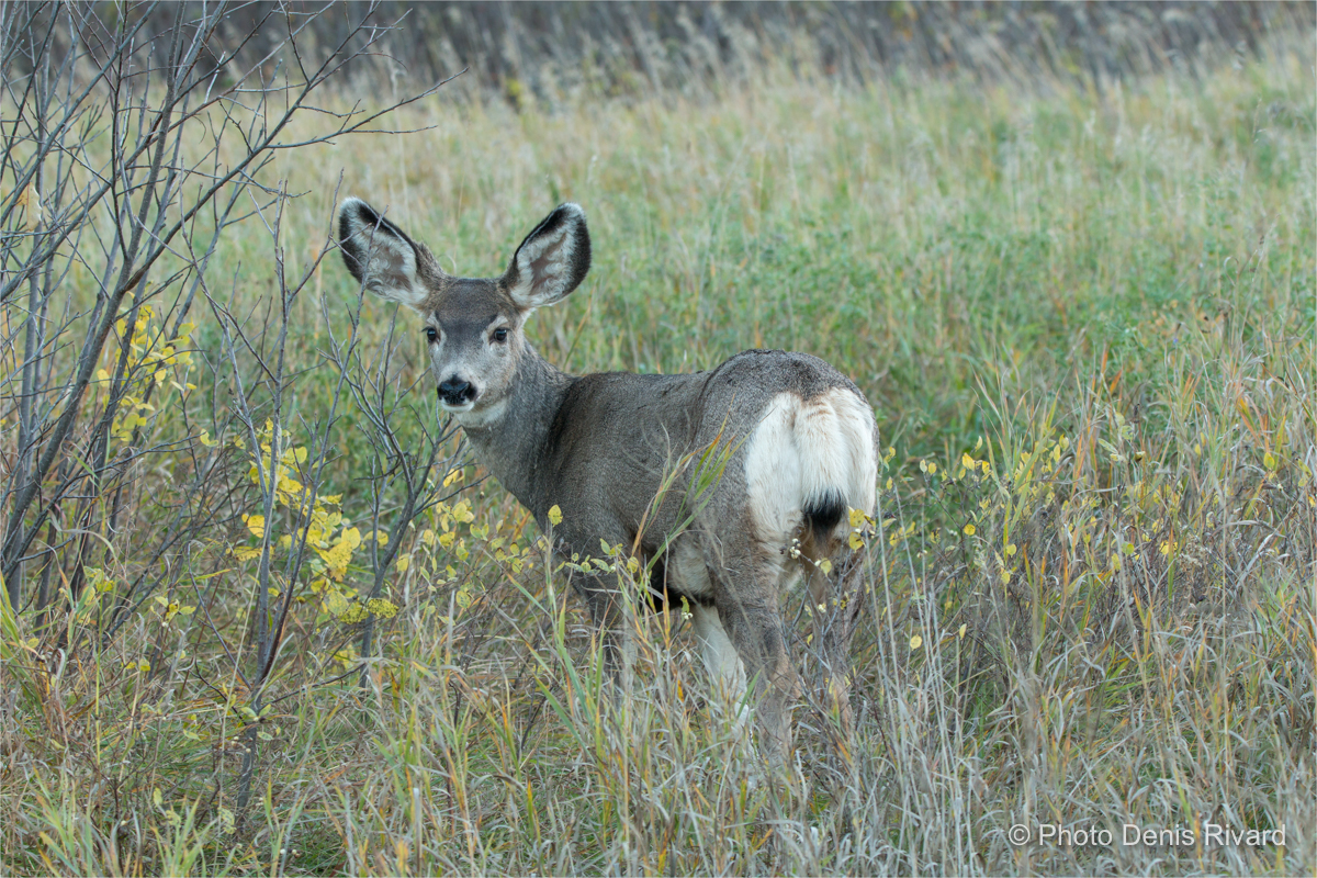 Mule deer were often seen at dusk along the road. by Denis Rivard ©
