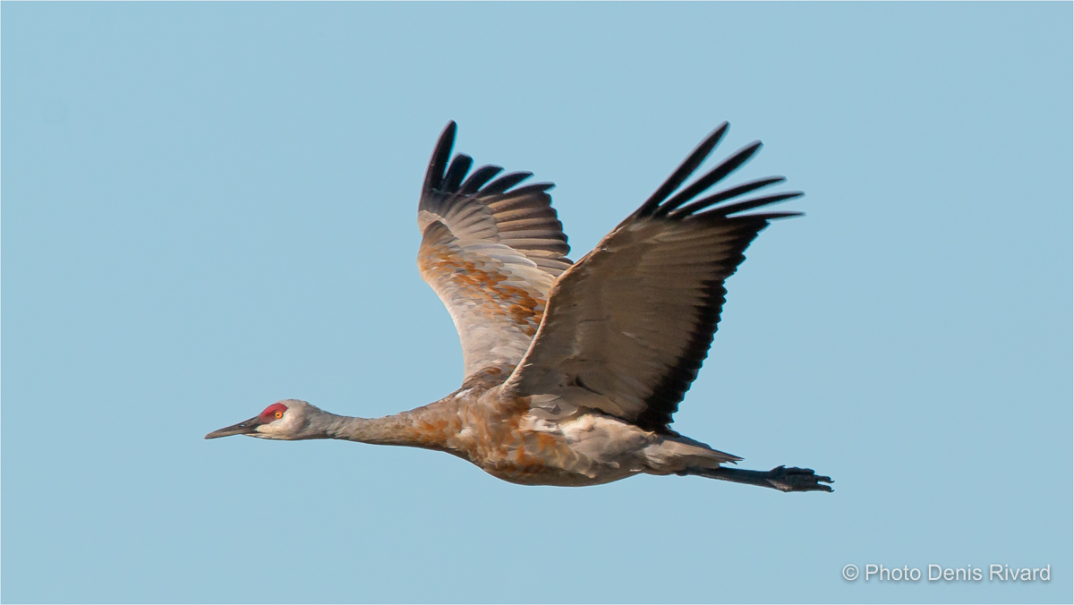 Sandhill crane in flight along Range Road 3063, SK. by Denis Rivard ©