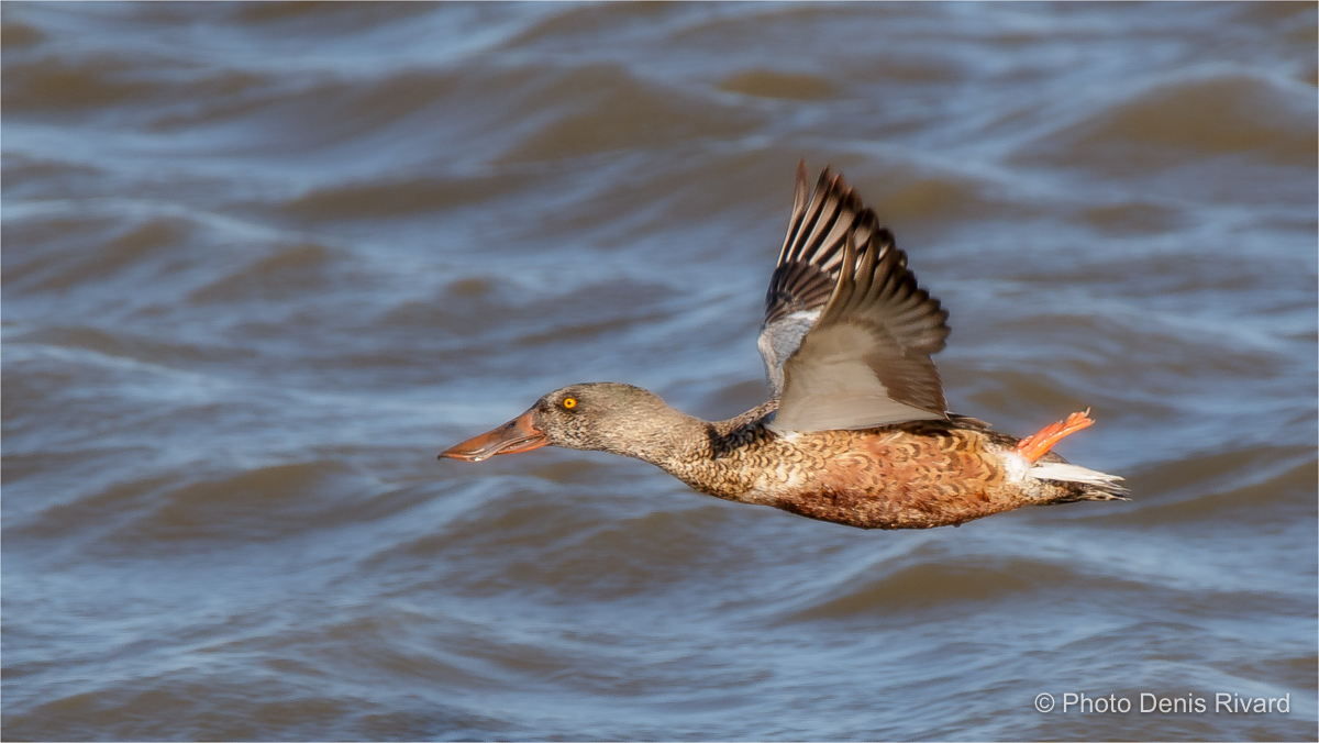 Northern shoveler in flight. by Denis Rivard ©
