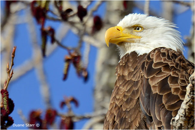 Bald Eagle by Duane Starr ©