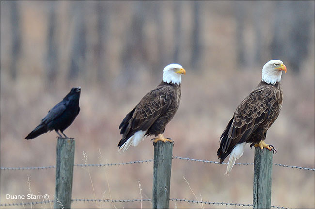Raven and two bald eagles on a fence by Duane Starr ©