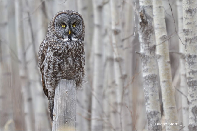 Great Gray Owl by Duane Starr ©
