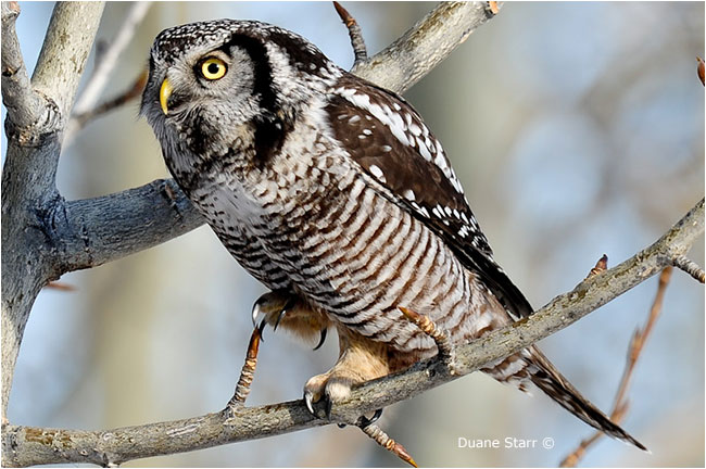 Northern Hawk Owl by Duane Starr ©