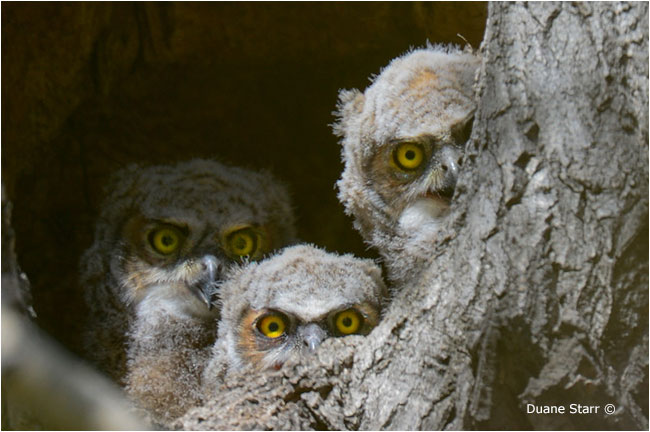 Great Horned Owl  owlets by Duanne Starr ©
